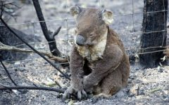 Australia Bushfires Ravage Koala Population