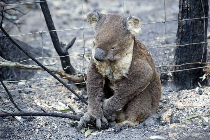 Australia+Bushfires+Ravage+Koala+Population